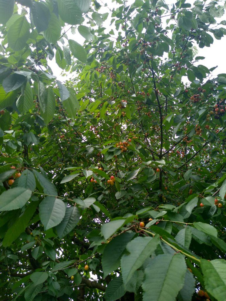 Co kwitnie wczerwcu wogrodzie: owoce czereśni