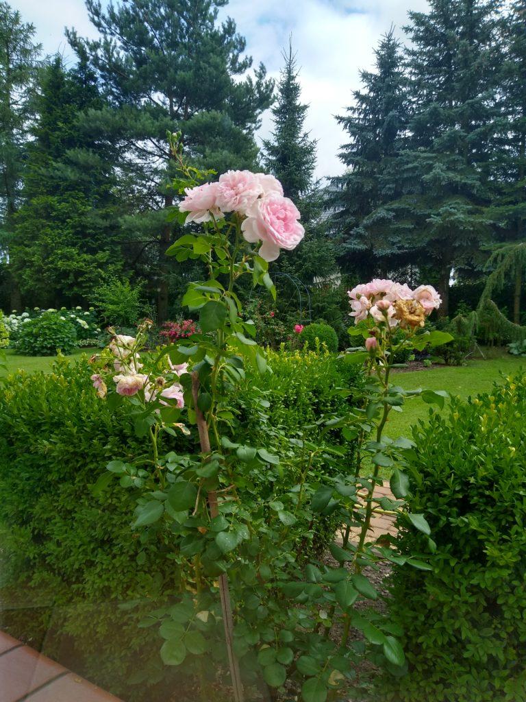 Róża Cindirella