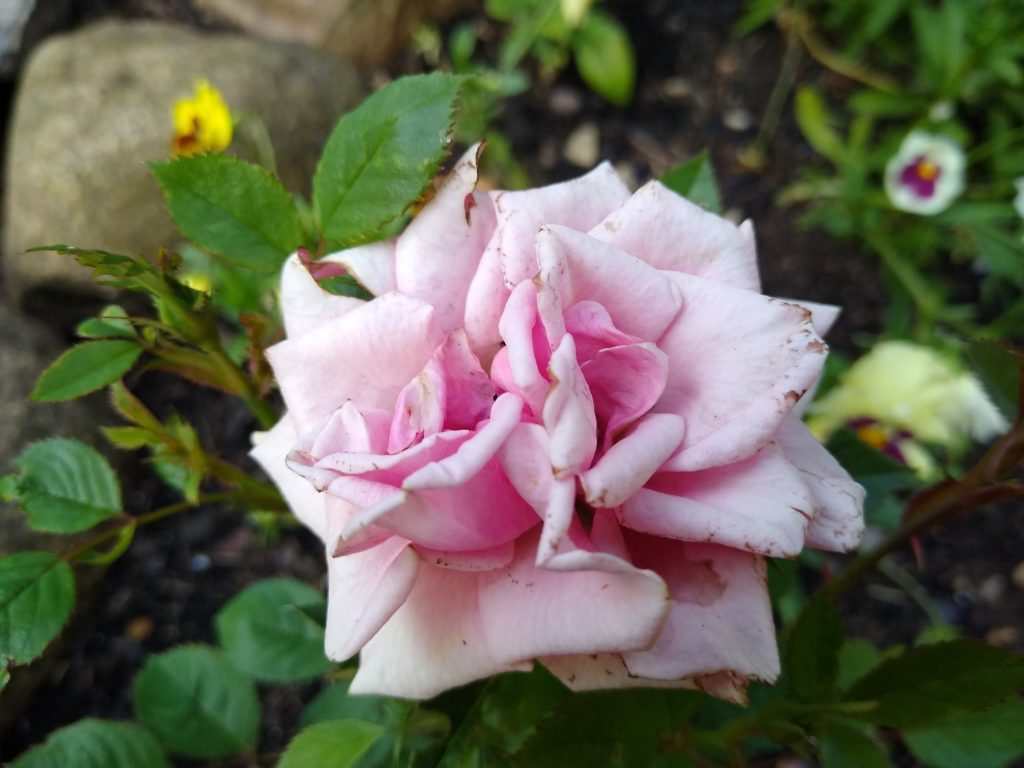 Róże: róża mini