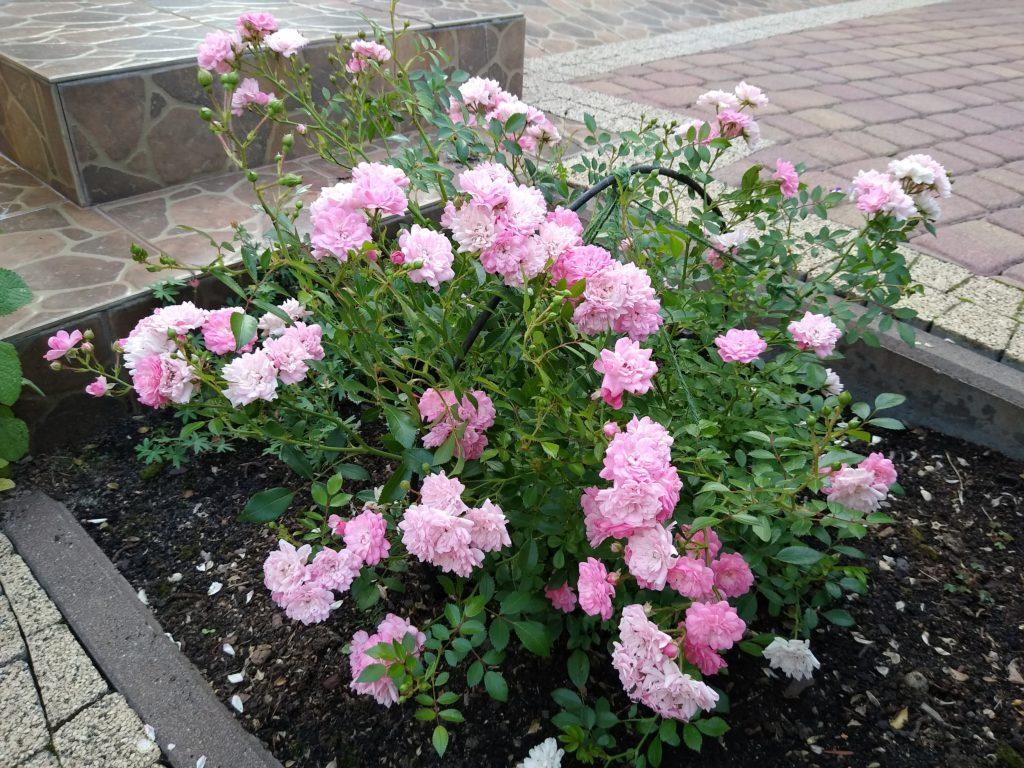 Róża okrywowa jasnoróżowa