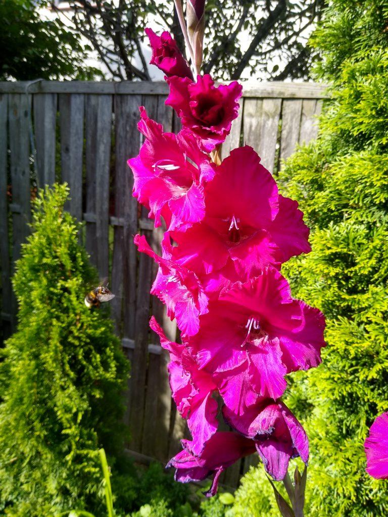 Mieczyk wielkokwiatowy Plum Tart